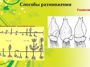 Способы размножения Размножениесеменами Размножениелуковицами.