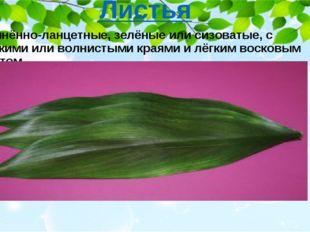 Удлинённо-ланцетные, зелёные или сизоватые, с гладкими или волнистыми краями