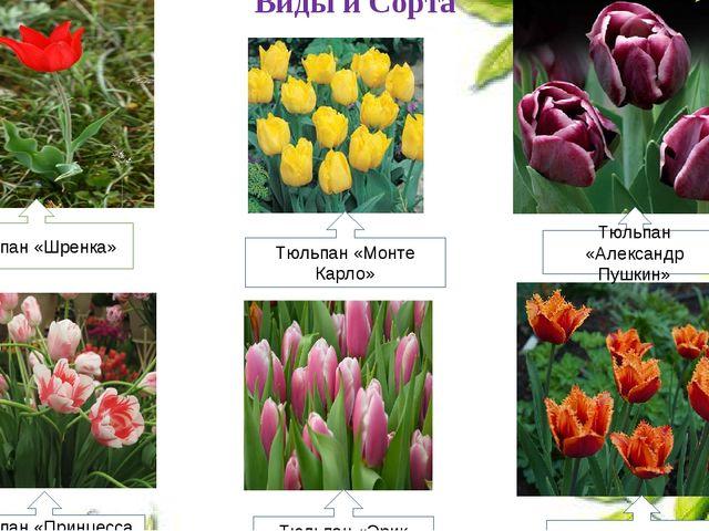 Виды и Сорта Тюльпан «Шренка» Тюльпан «Монте Карло» Тюльпан «Александр Пушкин...