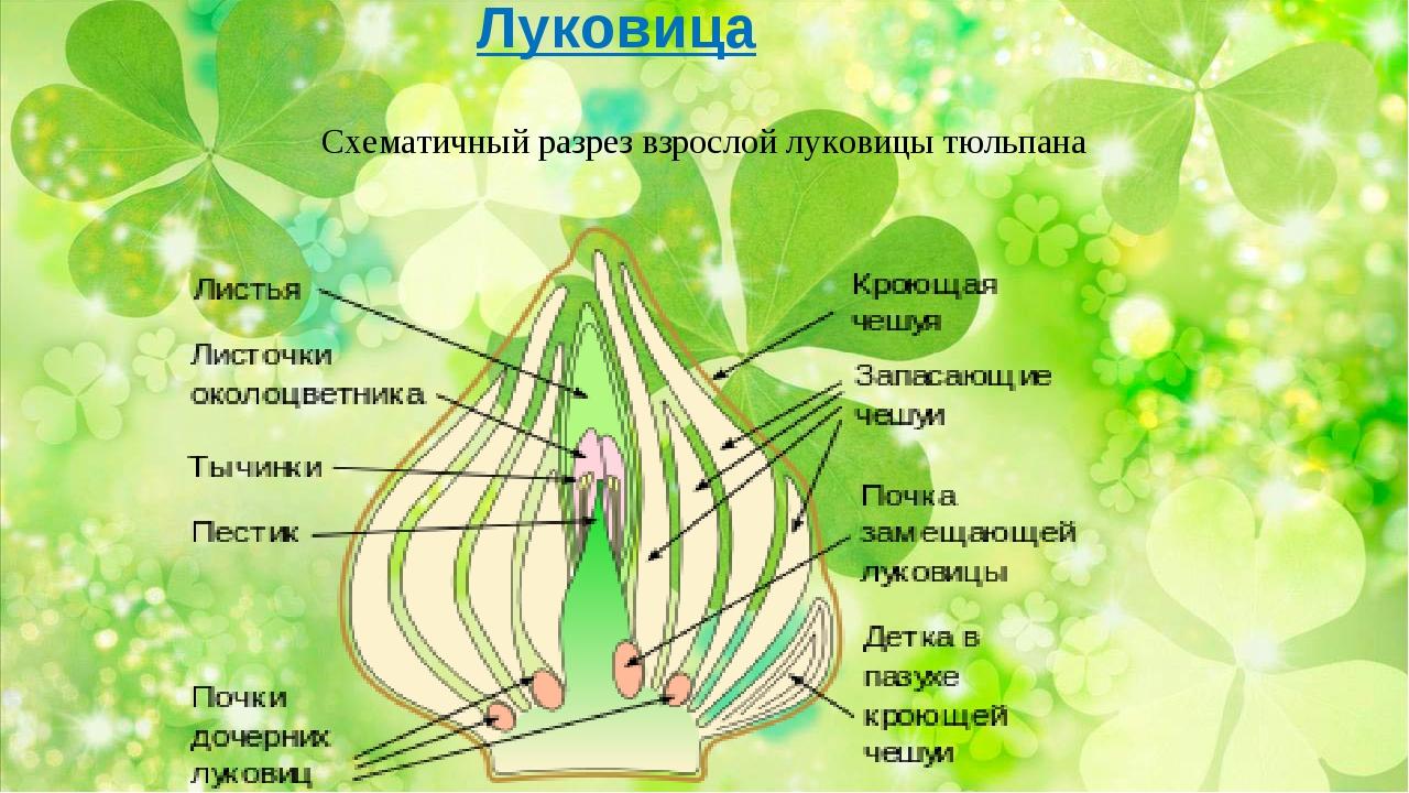 Луковица Схематичный разрез взрослой луковицы тюльпана