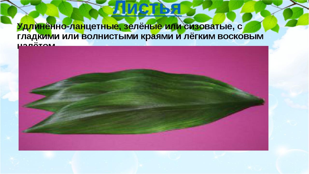 Удлинённо-ланцетные, зелёные или сизоватые, с гладкими или волнистыми краями...