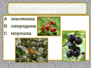 A земляника B смородина C морошка 6. Какая ягода встречается в тундре?