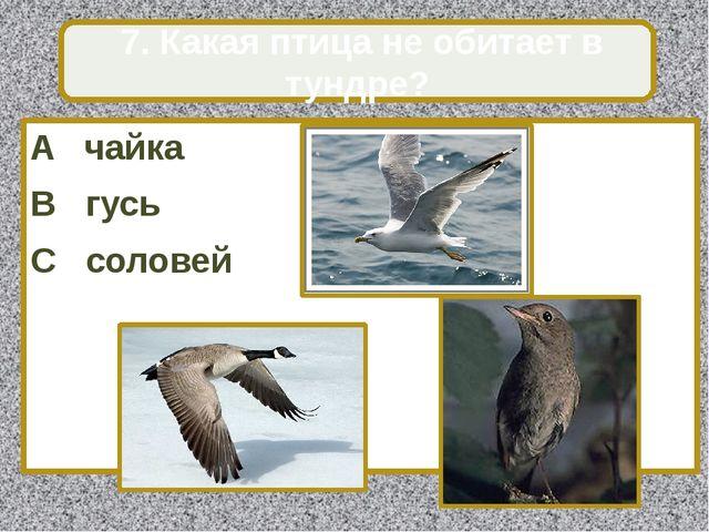 A чайка B гусь C соловей 7. Какая птица не обитает в тундре?
