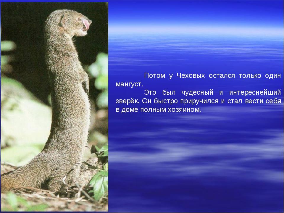Потом у Чеховых остался только один мангуст. Это был чудесный и интереснейш...