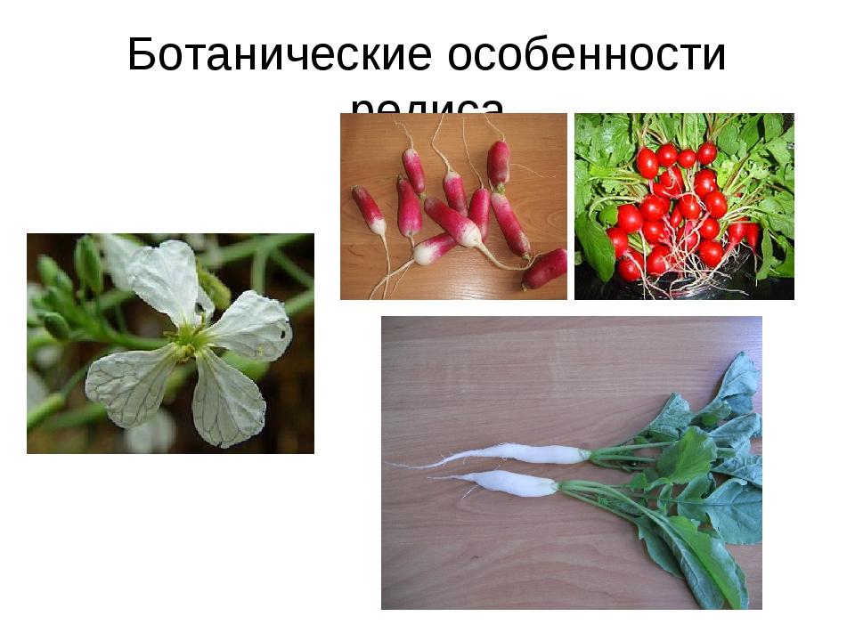 Ботанические особенности редиса