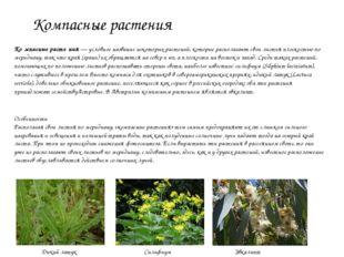 Компасные растения Ко́мпасные расте́ния— условное название некоторых растени
