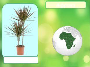 Драцена Африка
