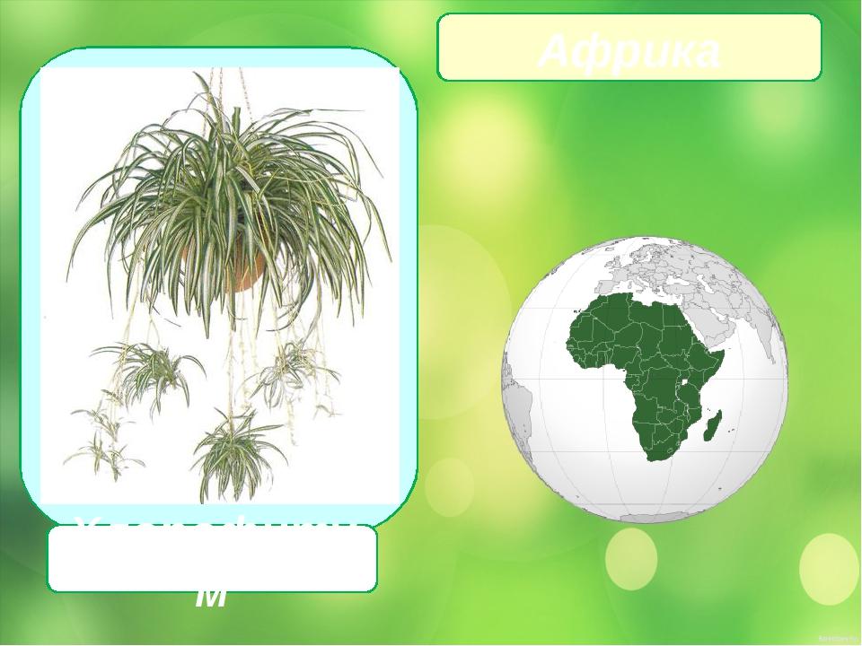 Хлорофитум Африка