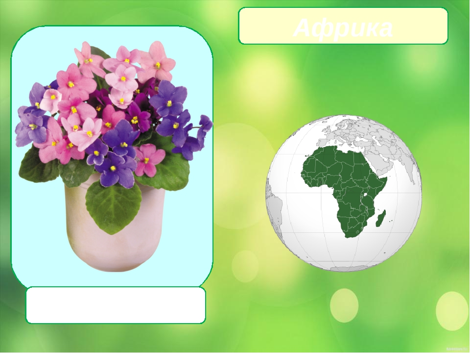 Сенполия Африка