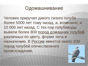 Одомашнивание Человек приручил дикого сизого голубя более 5000 лет тому назад