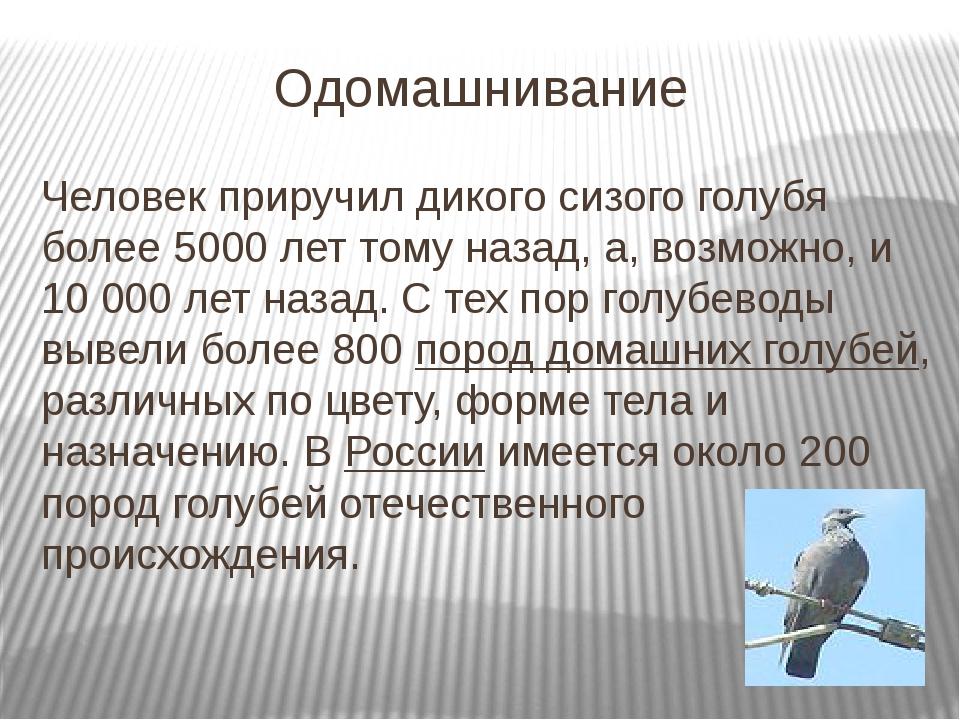 Одомашнивание Человек приручил дикого сизого голубя более 5000 лет тому назад...