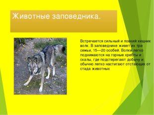 Животные заповедника. Встречается сильный и ловкий хищник волк. В заповеднике