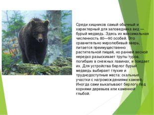 Среди хищников самый обычный и характерный для заповедника вид — бурый медве