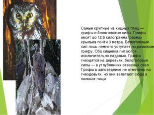 Самые крупные из хищных птиц — грифы и белоголовые сипы. Грифы весят до 12,5