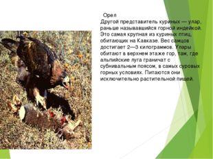 Орел Другой представитель куриных — улар, раньше называвшийся горной индейко