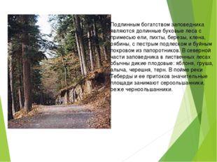 Подлинным богатством заповедника являются долинные буковые леса с примесью е