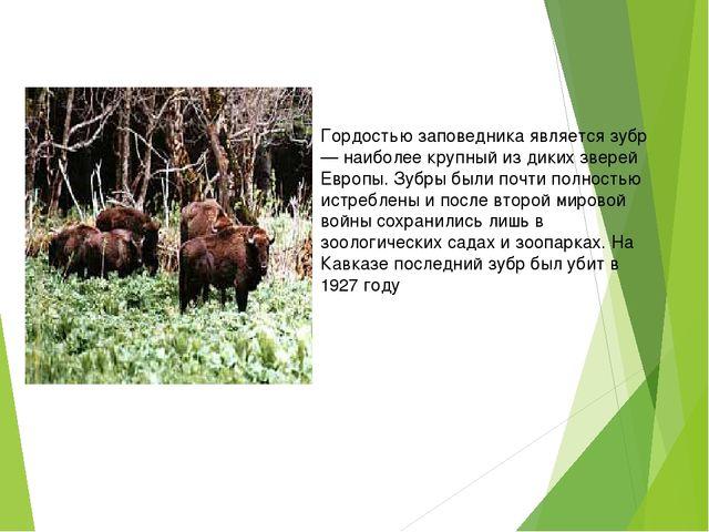 Гордостью заповедника является зубр — наиболее крупный из диких зверей Европ...