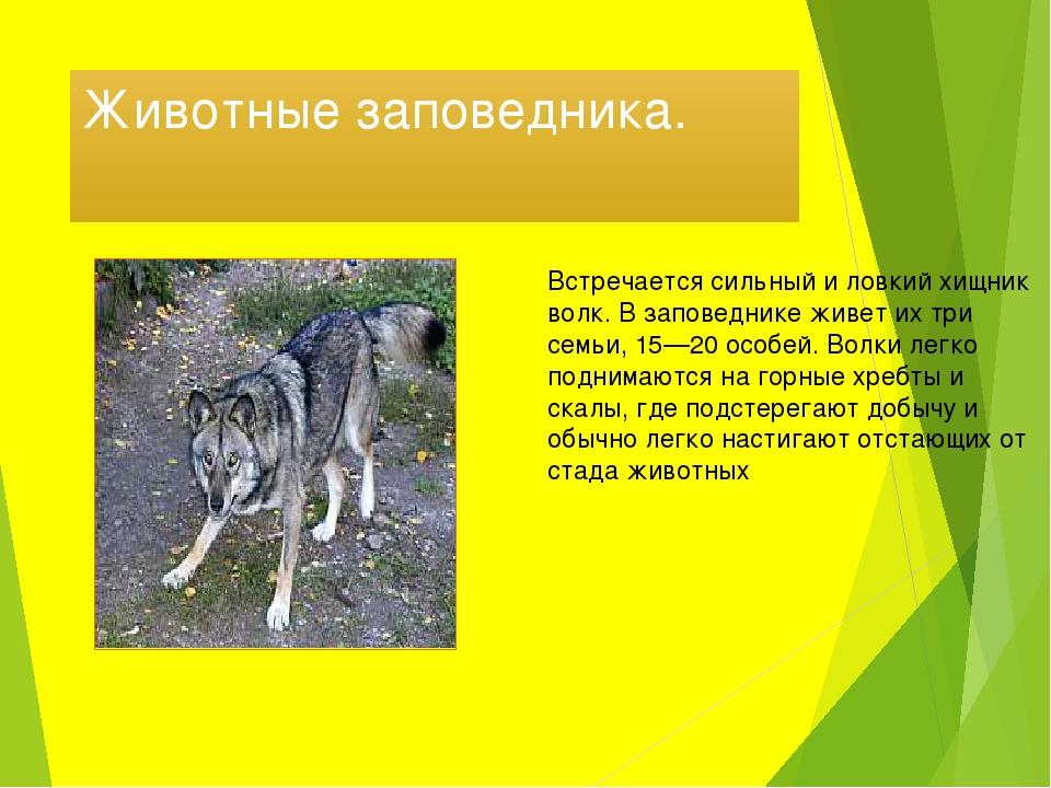 Животные заповедника. Встречается сильный и ловкий хищник волк. В заповеднике...