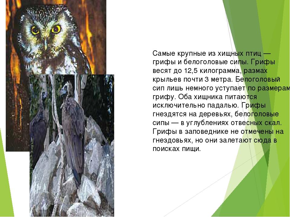 Самые крупные из хищных птиц — грифы и белоголовые сипы. Грифы весят до 12,5...