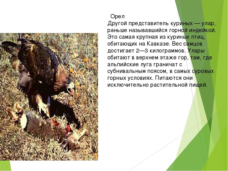 Орел Другой представитель куриных — улар, раньше называвшийся горной индейко...