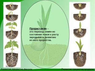 Развитие проростка фасоли Развитие проростка кукурузы Прорастание – это перех