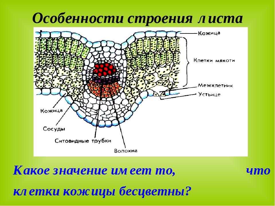 Особенности строения листа Какое значение имеет то, что клетки кожицы бесцвет...