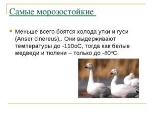 Самые морозостойкие Меньше всего боятся холода утки и гуси (Anser cinereus),