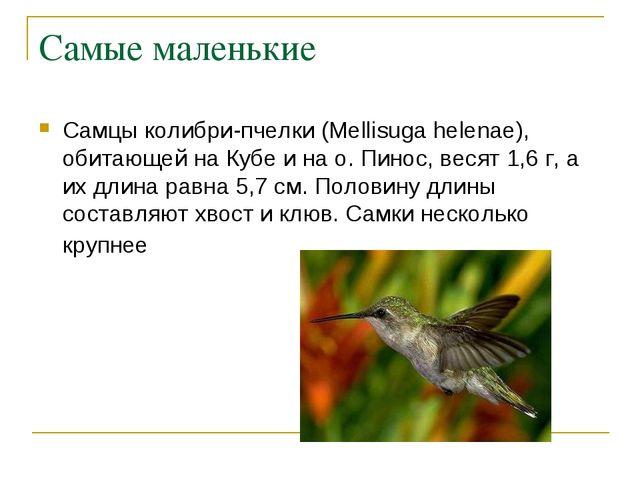 Самые маленькие Самцы колибри-пчелки (Mellisuga helenae), обитающей на Кубе и...