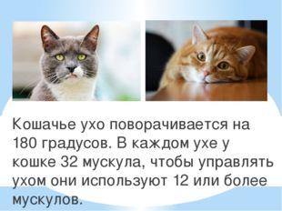 Кошачье ухо поворачивается на 180 градусов. В каждом ухе у кошке 32 мускула,