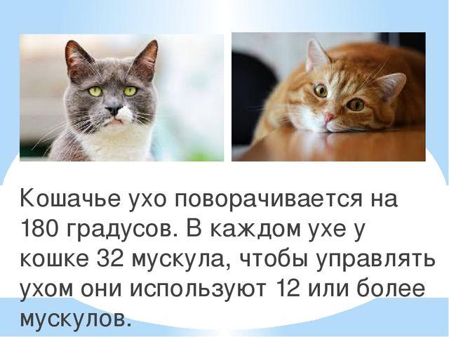 Кошачье ухо поворачивается на 180 градусов. В каждом ухе у кошке 32 мускула,...