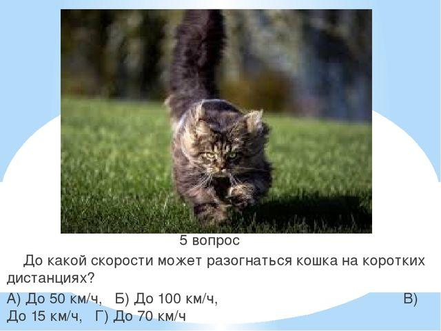 5 вопрос До какой скорости может разогнаться кошка на коротких дистанциях? А...