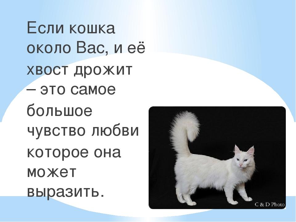 Если кошка около Вас, и её хвост дрожит – это самое большое чувство любви кот...