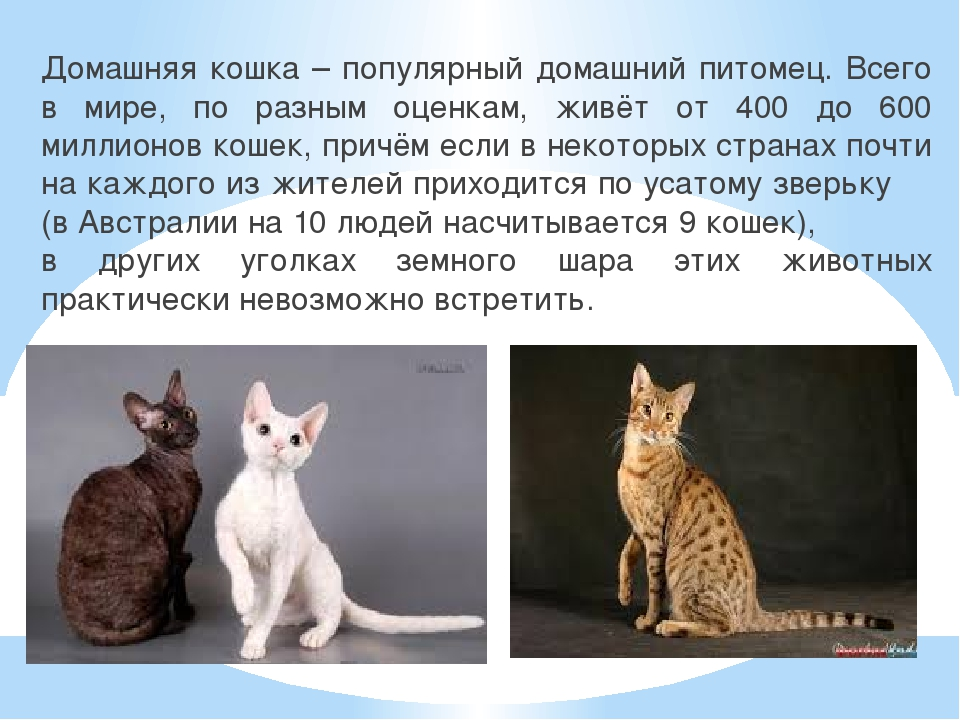 Домашняя кошка – популярный домашний питомец. Всего в мире, по разным оценкам...