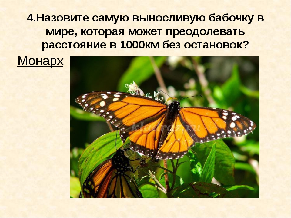 4.Назовите самую выносливую бабочку в мире, которая может преодолевать рассто...