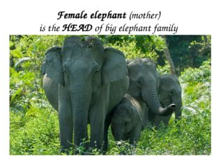 Female elephant (mother) is the HEAD of big elephant family