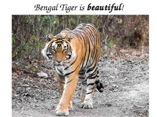 Bengal Tiger is beautiful!