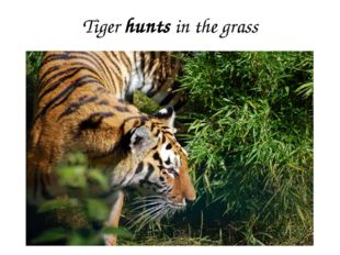 Tiger hunts in the grass