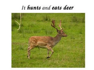 It hunts and eats deer