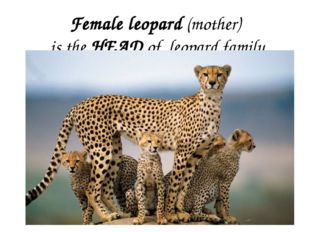 Female leopard (mother) is the HEAD of leopard family