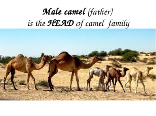 Male camel (father) is the HEAD of camel family