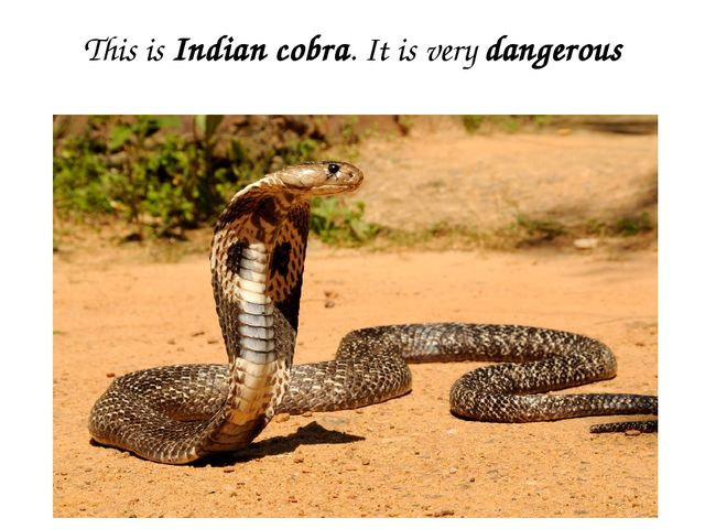 This is Indian cobra. It is very dangerous