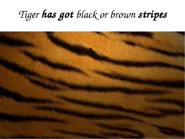 Tiger has got black or brown stripes