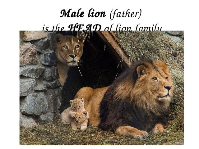 Male lion (father) is the HEAD of lion family