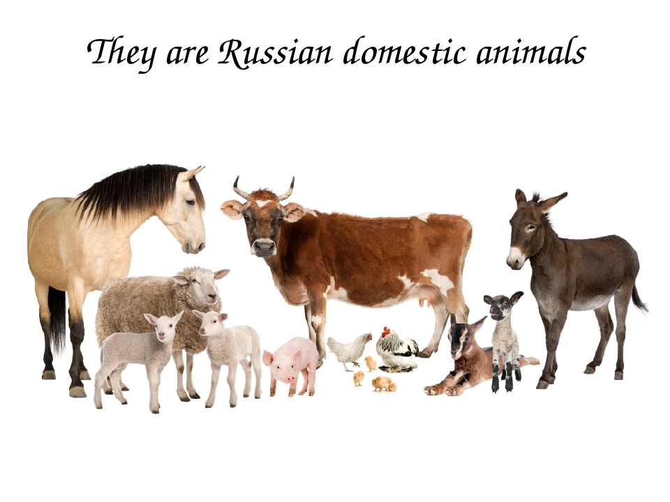 They are Russian domestic animals