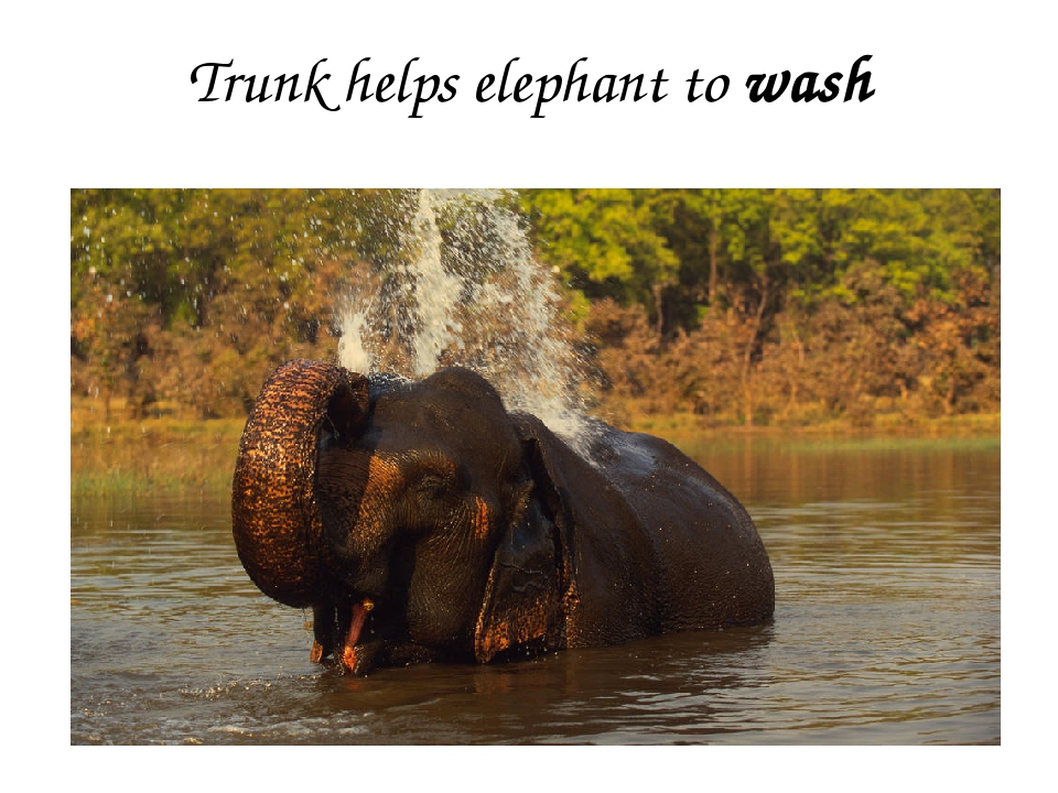 Trunk helps elephant to wash
