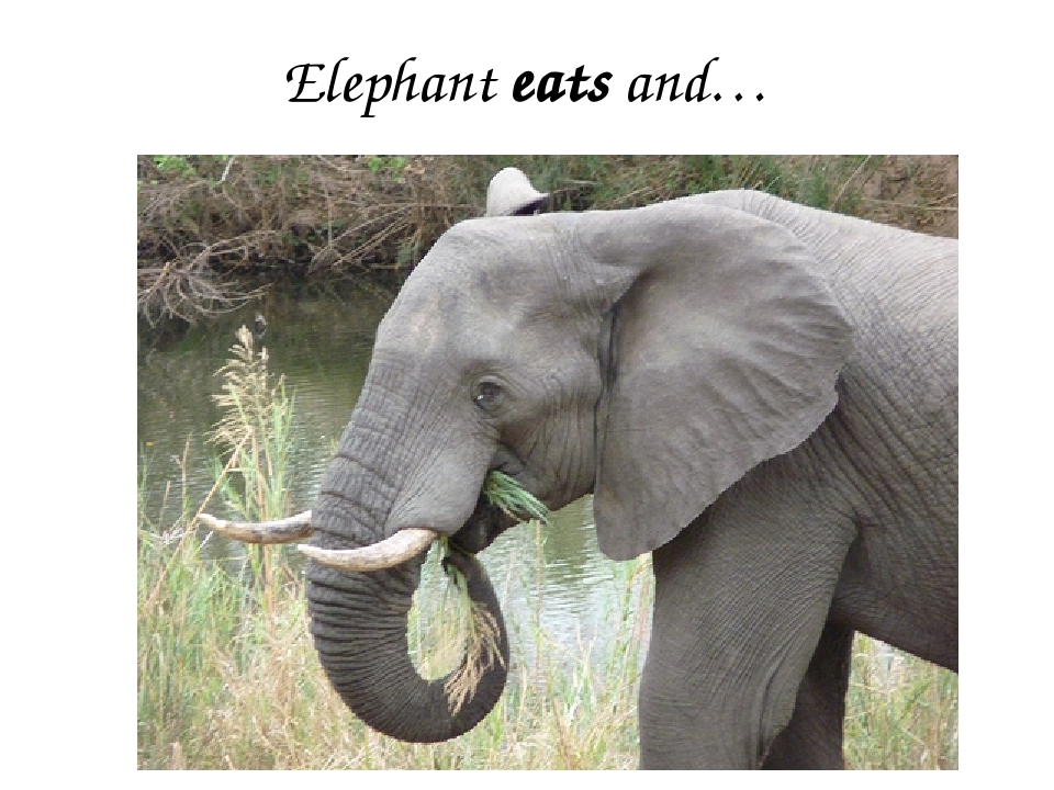 Elephant eats and…