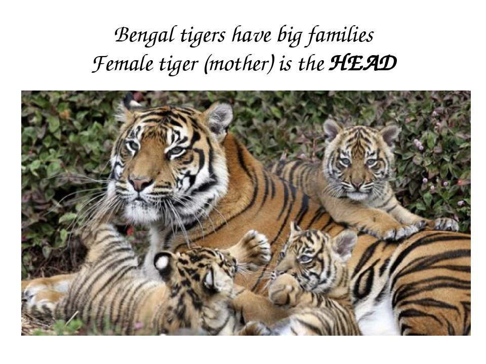 Bengal tigers have big families Female tiger (mother) is the HEAD