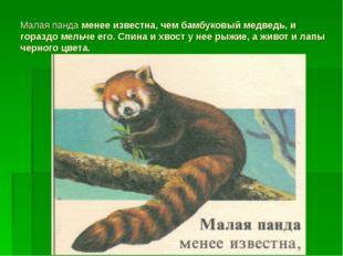 Малая панда менее известна, чем бамбуковый медведь, и гораздо мельче его. Спи