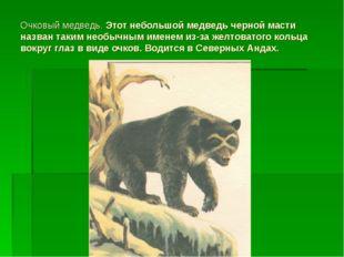Очковый медведь. Этот небольшой медведь черной масти назван таким необычным и