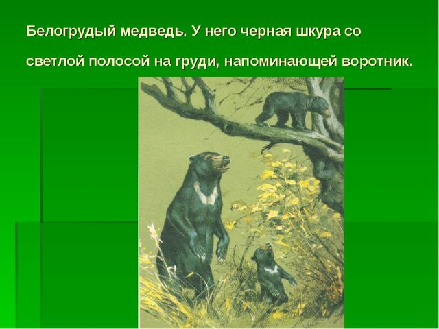 Белогрудый медведь. У него черная шкура со светлой полосой на груди, напомина...